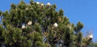 Procesionaria del pino es momento de actuar